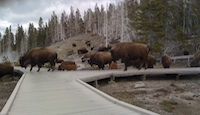 Bison at Grand