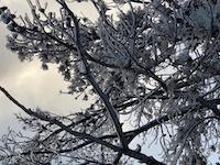 Norris tree rime ice